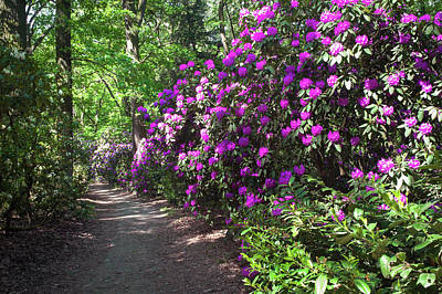 Photograph - Sunny Path Through Rhododendron Woods 5 by Jenny Rainbow