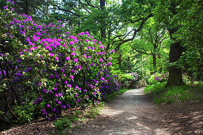Photograph - Sunny Path Through Rhododendron Woods by Jenny Rainbow