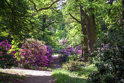Photograph - Sunny Walkway Among Blooming Rhododendrons by Jenny Rainbow