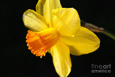 Photograph - Sunny Yellows Of A Spring Daffodil  by Joy Watson