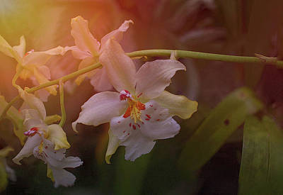 Photograph - Sunrise Orchid by Richard Goldman
