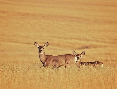 Photograph - Sunset Deer by Amanda Smith