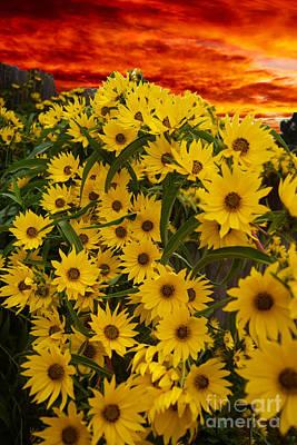 Photograph - Sunset Sunflowers by Sherry Little Fawn Schuessler