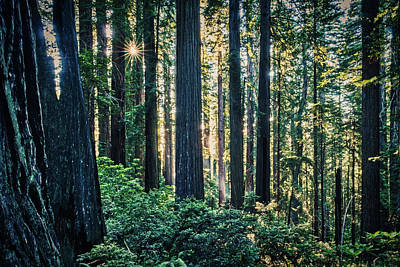 Photograph - Sunstar In The Damnation Creek Redwood Forest by Stuart Litoff