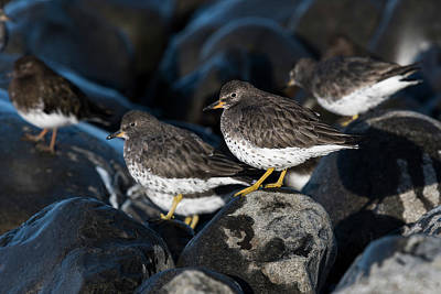 Photograph - Surfbirds At Seaside by Robert Potts