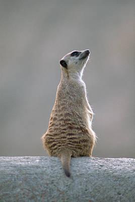 Meerkat Wall Art - Photograph - Suricate Or Slender-tailed Meerkat by Gerry Ellis/ Minden Pictures