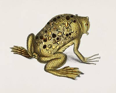Painting - Surinam Toad  Pipa Americana  Illustrated By Charles Dessalines D Orbigny  1806 1876  by Celestial Images