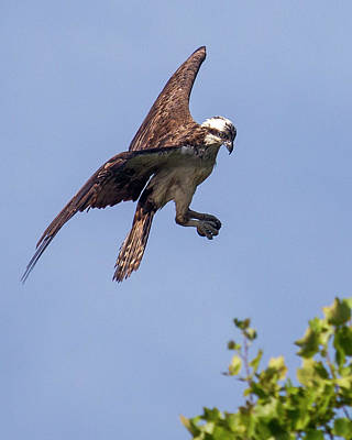 Photograph - Suspended Osprey by Alan Raasch