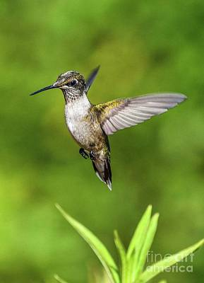 Hollywood Style - Suspended Juvenile Ruby-throated Hummingbird by Cindy Treger