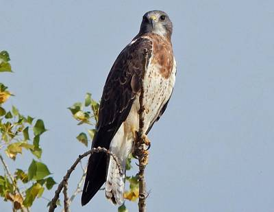 Photograph - Swainson's Hawk by Lukas Miller