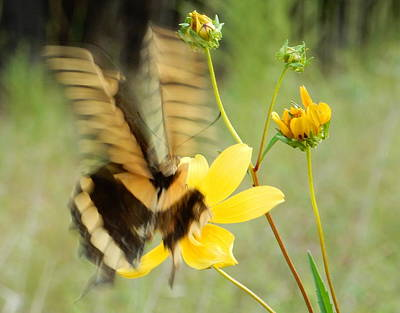 Photograph - Swallow-tail by Karen Rispin
