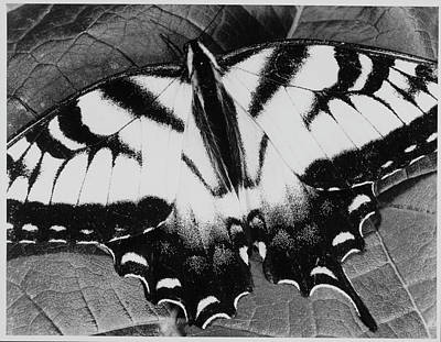 Photograph - Swallowtail Butterfly by Andreas Feininger