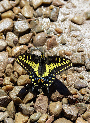 Photograph - Swallowtail Butterfly by Michael Chatt