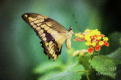 Photograph - Swallowtail Butterfly by Sharon McConnell
