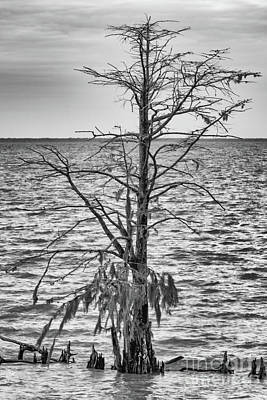 Photograph - Swamp Cypress by Dale Powell