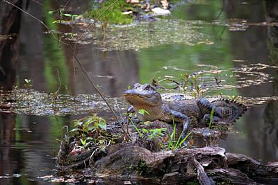 Photograph - Swamp Gator by Susan Rissi Tregoning