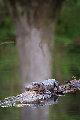 Photograph - Swamp Life by Susan Rissi Tregoning