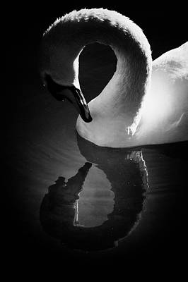 Photograph - Swan Admiring Itself Reflecting In Lake by K.arran - Photomuso