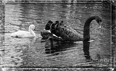 Photograph - Swan And Signet by Fran Woods