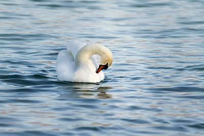 Photograph - Swan by Christine Sponchia