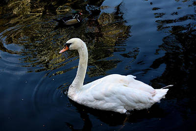 Photograph - Swan by Eric Christopher Jackson