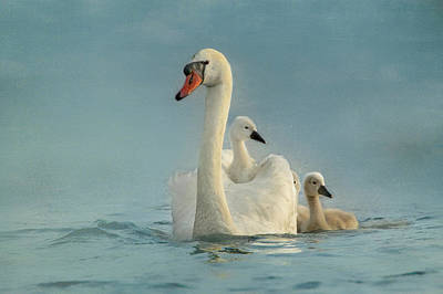 Animal Family Photograph - Swan Family by Betty Wiley