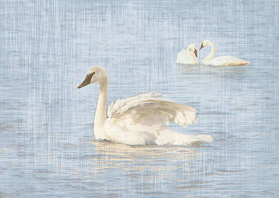 Photograph - Swan Fluff by Patti Deters