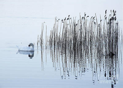 Photograph - Swan on Lough Leane by Pauline Christie