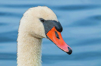 Photograph - Swan Portrait by Cathy Kovarik