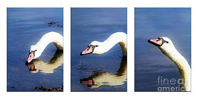 Photograph - Swan Triptych by Terri Waters
