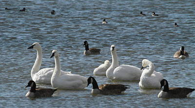 Firefighter Patents Royalty Free Images - Swans And Canadian Geese 14 Royalty-Free Image by Cathy Lindsey