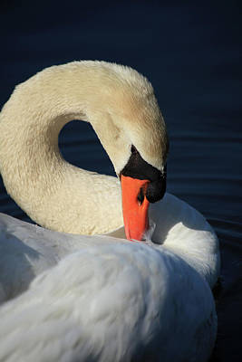 Photograph - Swans Beauty by Karol Livote
