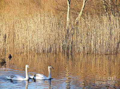 Photograph - Swans Beside Rushes by Pauline Christie