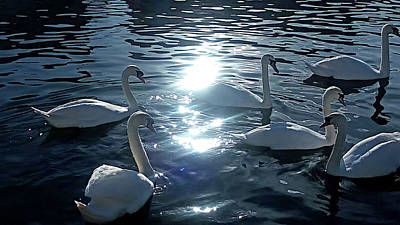 Food And Flowers Still Life - Swans Gliding on Tranquil Water by Mark Woollacott