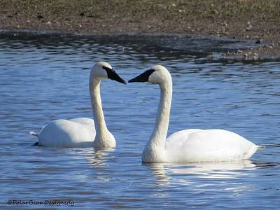 Photograph - Swans Heart by Donna Goutermont