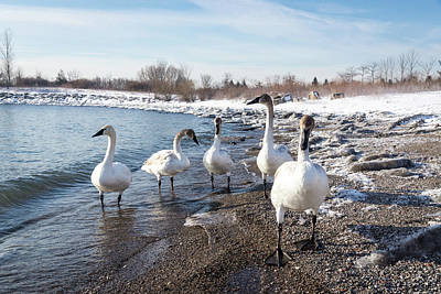 Photograph - Swans In Snow - Wild Trumpeters Family Walk On A Beach by Georgia Mizuleva