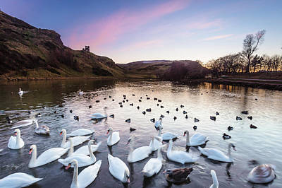 Photograph - Swans on St Margaret's Loch, Edinburgh by Diarmid Weir