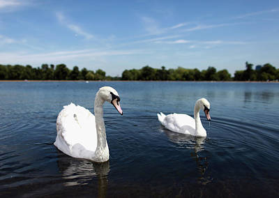 Hyde Park Wall Art - Photograph - Swans Swim On Hyde Parks Round Pond by Oli Scarff