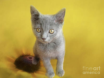 Chartreux Wall Art - Photograph - Sweet Chartreux Kitten by Elisabeth Lucas