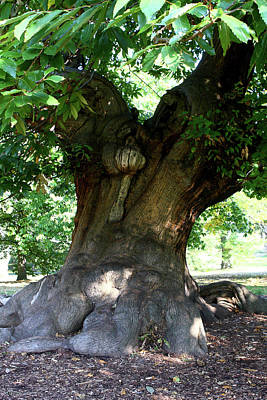 Photograph - Sweet Chestnut Tree In Greenwich Park, London  by Aidan Moran