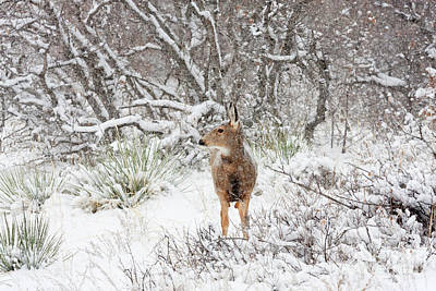 Photograph - Sweet Doe In The Snow by Steve Krull