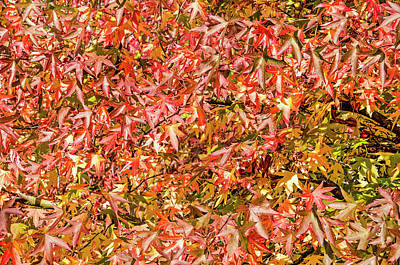 Photograph - Sweet Gum Leaves by Frans Blok