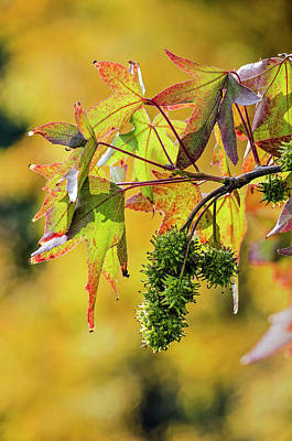 Photograph - Sweet Gum Tree Close-up by Frans Blok