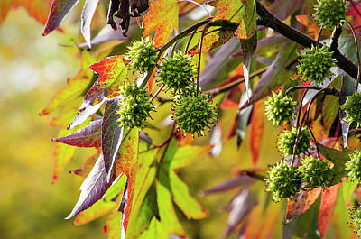 Photograph - Sweet Gum Tree In Bright Sunlight by Frans Blok