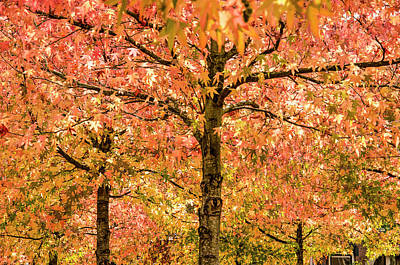 Photograph - Sweet Gum Trees On A Sunny Day by Frans Blok