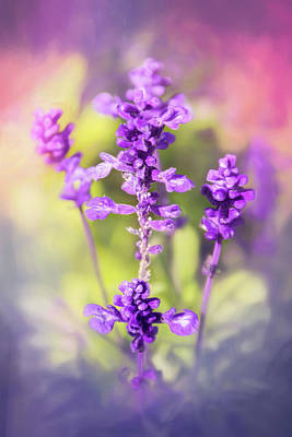 Royalty-Free and Rights-Managed Images - Sweet Lavender  by Carol Japp