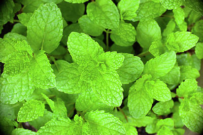 Royalty-Free and Rights-Managed Images - Sweet Mint Herb by Erin Cadigan