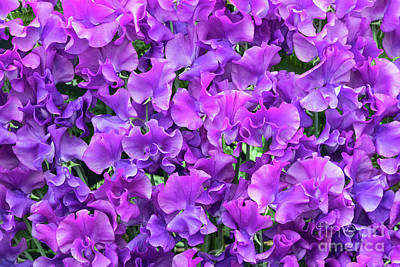 Photograph - Sweet Pea Katie Alice Flowers by Tim Gainey