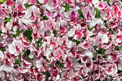 Art Print featuring the photograph Sweet Pea Lisa Marie Flowers by Tim Gainey