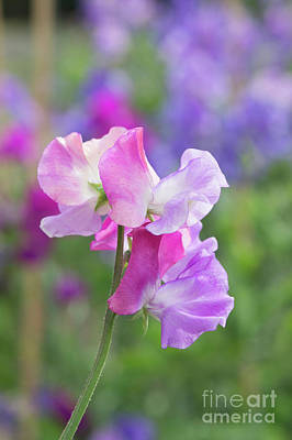 Photograph - Sweet Pea Prima Ballerina Flower Portrait by Tim Gainey
